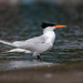 Royal Tern - Photo (c) Omar Del Toro, all rights reserved