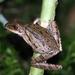 Polypedates leucomystax - Photo (c) Lennart van Vliet, todos los derechos reservados