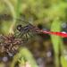 Nannophya dalei - Photo (c) Richard Yank, todos los derechos reservados