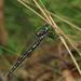 Eusynthemis aurolineata - Photo (c) Richard Yank, kaikki oikeudet pidätetään