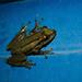 Scinax imbegue - Photo (c) André Zambolli, todos los derechos reservados