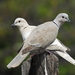 Eurasian Collared-Dove - Photo (c) Daniel, all rights reserved