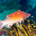 Redfin Hogfish - Photo (c) David R, all rights reserved