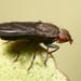 Pelidnoptera nigripennis - Photo (c) Jorge Almeida, todos los derechos reservados