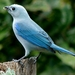 Blue-gray Tanager - Photo (c) rgamboa, all rights reserved