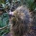 Coendou melanurus - Photo (c) Marcos Ammerman, todos los derechos reservados