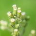 Tropical Horseweed - Photo (c) naturephotosuze, all rights reserved