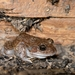 Woodworker Frog - Photo (c) James Skewes, all rights reserved