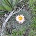 Thelocactus rinconensis - Photo (c) Manuel Nevarez, all rights reserved, uploaded by Manuel Nevárez