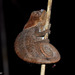 Cryptic Chameleon - Photo (c) louisedjasper, all rights reserved