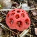 Clathrus crispus - Photo (c) michael leaning, all rights reserved