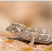 Phyllodactylid Geckos - Photo (c) Thor Håkonsen, all rights reserved
