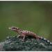 Cyrtodactylus peguensis zebraicus - Photo (c) Thor Håkonsen, all rights reserved