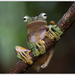 Flying Frogs - Photo (c) Thor Håkonsen, all rights reserved