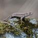 Viviparous Lizard - Photo (c) Thor Håkonsen, all rights reserved