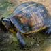Rhinoclemmys annulata - Photo (c) Ryan L. Lynch, כל הזכויות שמורות
