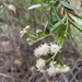 Baccharis salicifolia - Photo (c) Becca Hackett-Levy, όλα τα δικαιώματα διατηρούνται