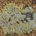 Eriogonum caespitosum - Photo (c) Paul Maier, todos los derechos reservados