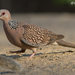 Turtle-Doves and Collared-Doves - Photo (c) Toham Orajapati, all rights reserved