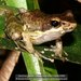 Fort Madagascar Frog - Photo (c) Daniel Austin, all rights reserved