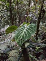 Philodendron verrucosum image