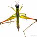 Eumastacoidea - Photo (c) Stéphane De Greef, todos los derechos reservados