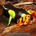 Baron's Mantella - Photo (c) danielaustin, all rights reserved, uploaded by danielaustin
