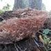 Podoscypha multizonata - Photo (c) entwisle, todos los derechos reservados, uploaded by Tim Entwisle