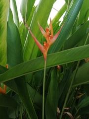 Heliconia psittacorum image