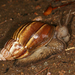 African Giant Snail - Photo (c) Martin Mandák, all rights reserved