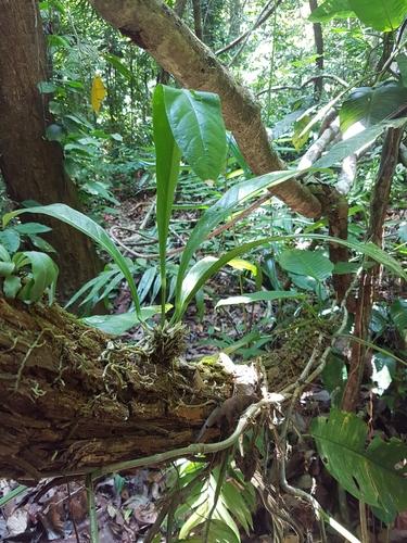 Anthurium salvinii image