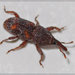 Grain Weevils - Photo (c) RAP, all rights reserved