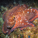 Octopus cyanea - Photo (c) Steve Parish OAM, todos os direitos reservados