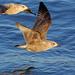 Larus argentatus argenteus - Photo (c) Nigel Voaden, כל הזכויות שמורות