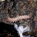 Nearctodesmidae - Photo (c) Jay Keller, all rights reserved, uploaded by Jay L. Keller