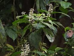 Miconia gracilis image
