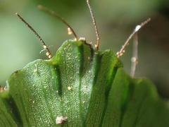 Trichomanes godmanii image