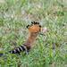 Madagascar Hoopoe - Photo (c) M. Omick, all rights reserved