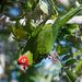 Punapääaratti - Photo (c) ramonamom, kaikki oikeudet pidätetään