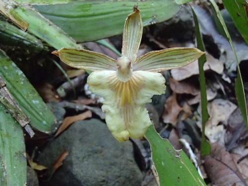 Aspasia epidendroides image