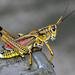 Romalea microptera - Photo (c) Ray Wilhite, todos los derechos reservados