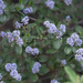 Ceanothus tomentosus olivaceus - Photo (c) Eric Koberle, some rights reserved (CC BY-NC)