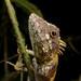 Complicitus nigrigularis - Photo (c) bjornlardner, όλα τα δικαιώματα διατηρούνται