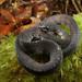 Asthenodipsas jamilinaisi - Photo (c) bjornlardner, όλα τα δικαιώματα διατηρούνται