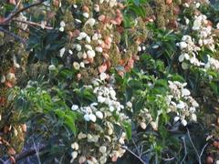 Calycophyllum candidissimum image