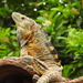 Western Spiny-tailed Iguana - Photo (c) Daniel, all rights reserved