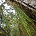 Flat Fork Fern - Photo (c) Marcos Vinagrillo, all rights reserved