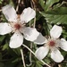 Southern Dewberry - Photo (c) Grayson Sasser, all rights reserved