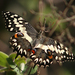 Papilio grosesmithi - Photo (c) Martin Mandák, all rights reserved