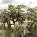 Chain-fruit Cholla - Photo (c) Scott Olmstead, all rights reserved